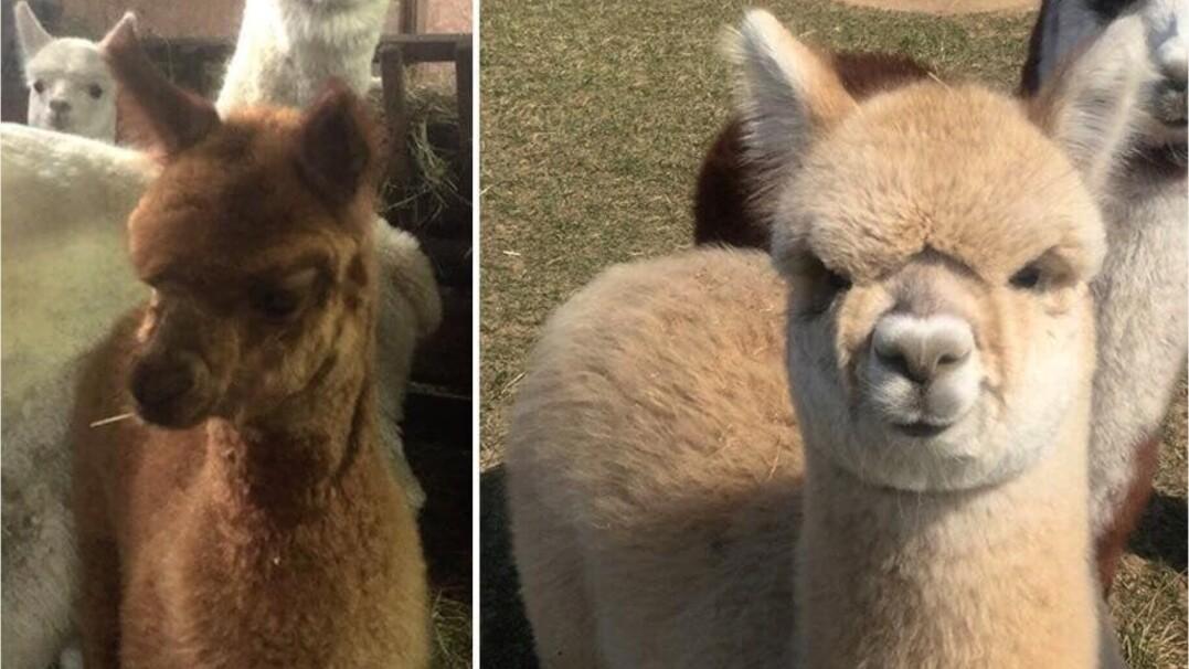 Skradziono dwie młode alpaki. Jedna jest niewidoma
