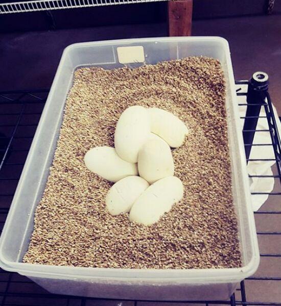 Jaja złożone przez samicę pytona królewskiego (Saint Louis Zoo)