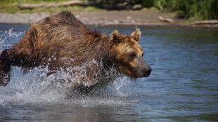 Grizzly usunięte z listy zagrożonych gatunków. Planowane pozwolenia na odstrzał