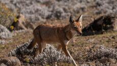 Kaberu etiopskie inaczej szakal (wilk) etiopski (Charles J Sharp/wikipedia CC BY-SA 4.0)