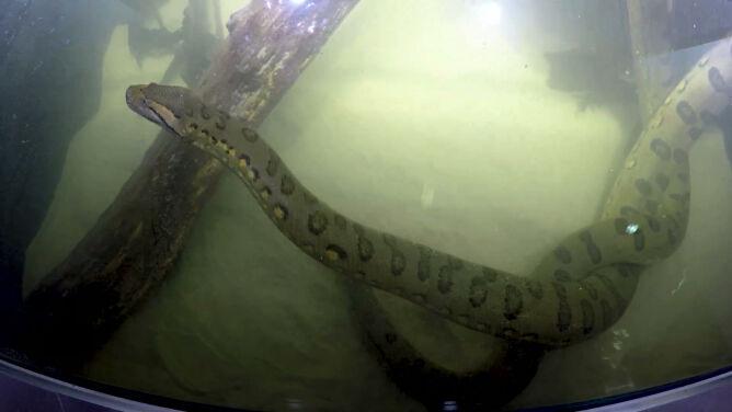 Poznajcie anakondę olbrzyma. <br />Może być najdłuższa w Europie