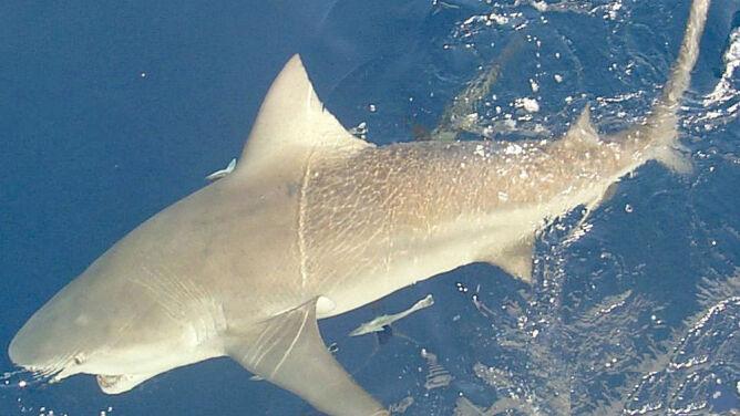 Nurek pożarty przez rekina na oczach żony
