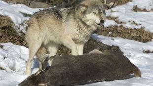 Wilki na Podkarpaciu z głodu nie zginą. Na jednego przypada aż 20 jeleni
